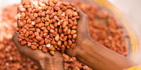 campagne arachide sonacos ex suneor cherche acheter pas moins de 200 000 tonnes de graines. Black Bedroom Furniture Sets. Home Design Ideas