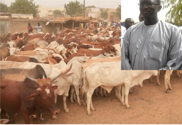 138e edition de l'Appel du Mahdi : Le ministre Amadou Ba offre 40 bœufs aux Layennes