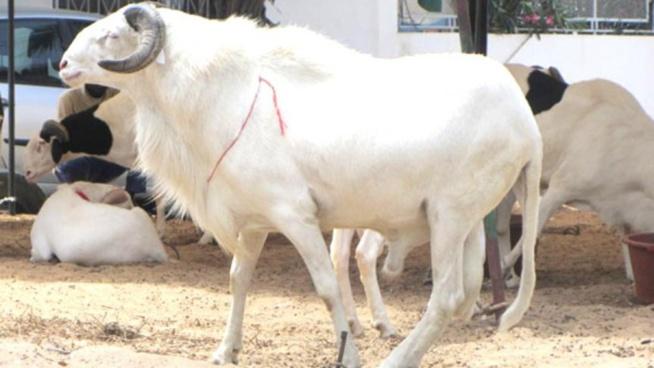"""Mouton de Tabaski : """"Conduites à tenir avant et après l'abattage de l'animal... pour une viande saine et de qualité """""""