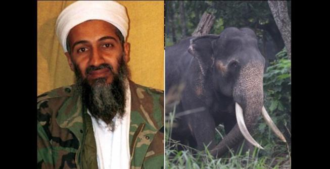 Inde: Un éléphant surnommé Oussama ben Laden piétine cinq personnes à mort