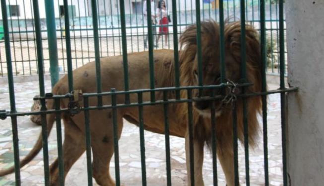 Parc Hann : Un employé mordu par un lion