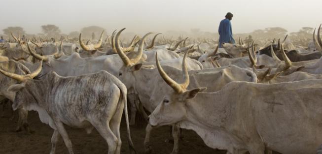 Vol de bétail à Darou Samb: Le berger du village disparaît mystérieusement avec 28 bœufs