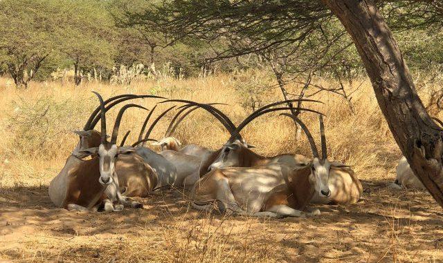 Braconnage, trafic et affaires de gros sous : Une gazelle oryx peut coûter jusqu'à 327 millions