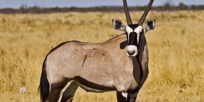 Ruée vers les gazelles – Entre le protocole « Kilim », fétichisme et affaires de gros sous
