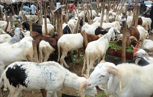 Plus de 160 mille moutons non vendus: des vendeurs pleurent sur leur sort