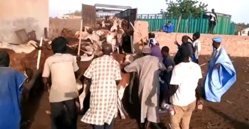 Achat des bœufs de Serigne Saliou Thioune pour le magal de Touba