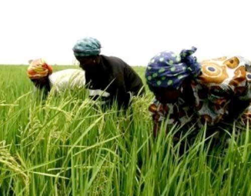 Somnolence du gouvernement : le Sénégal en de ça de l'autosuffisance alimentaire