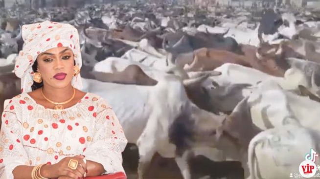 Urgent Sokhna Aida Diallo mou cheikh Bethio frappe fort pour le magal de Touba. Regardez ses boeufs