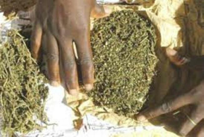 Trafic de drogue à Mbour: Un cultivateur tombe avec 5 kg de chanvre indien