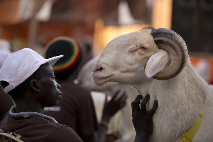 Mouton de Tabaski des lutteurs : Baboye dépense 1.600.000 FCFA, Ness 150.000 FCFA, Balla Diouf 100.000 FCFA…