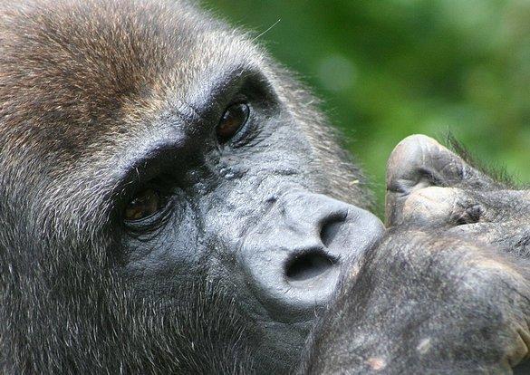"""PALUDISME - """" Ce sont les grands singes africains qui ont infecté les hommes du monde """""""