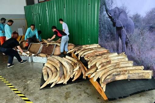 Singapour détruit près de huit tonnes d'ivoire de contrebande