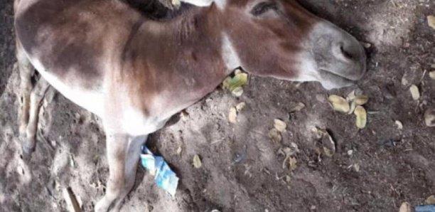 Epidémie : La grippe équine tue 211 ânes à Foundiougne