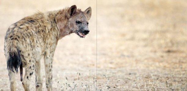 Porokhnane : Une hyène sème la terreur dans un village