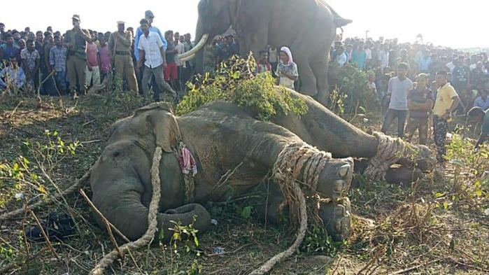 """Inde: les autorités prennent des dispositions concernant l'éléphant surnommé """"Oussama ben Laden"""""""