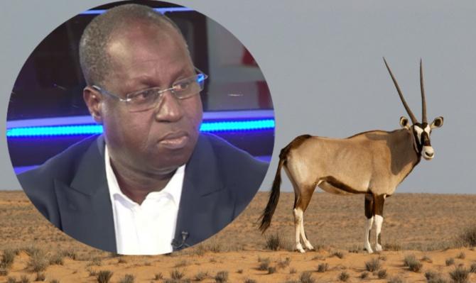 Affaire des gazelles mortes - Abdou Karim Sall à ses oryxs et périls
