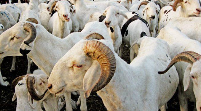 Chéreté du mouton à Dahra-Djolof : un «Mboté» (agneau) à…100.000 CFA