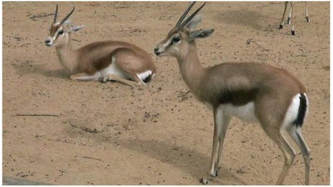 Affaire des gazelles Oryx - Ranérou prévient et donne un ultimatum