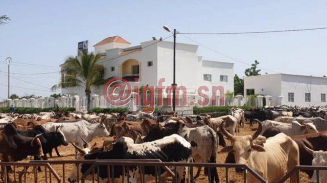 Les bœufs envahissent la résidence de Aïda Diallo à Ngabou