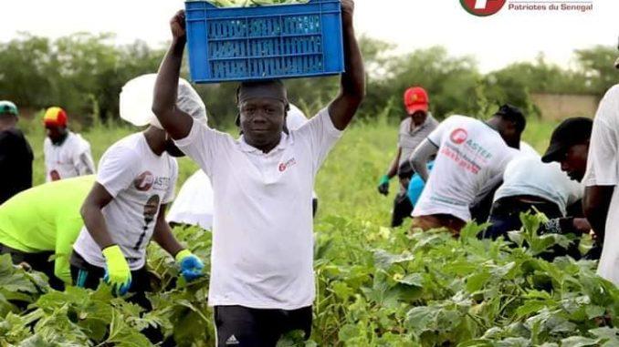 Vacances Agricoles Patriotes: PASTEF réussit son pari et tire profit des récoltes