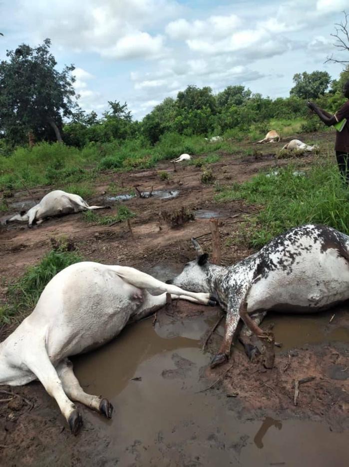 Vélingara : La foudre tue neuf vaches sur place à Wassadou.