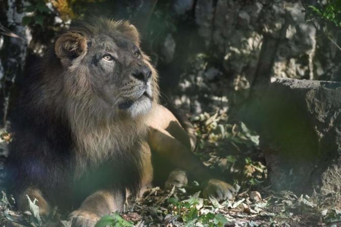 Oussouye - La présence d'un lion perturbe les populations
