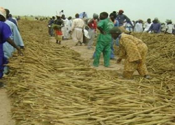 Récoltes Khelcom 2020: Des milliers de ''thiantacounes'' ont répondu à l'appel de Serigne Saliou Thioune
