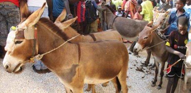 Drame à Louga: Un enfant d'un an tué par un âne