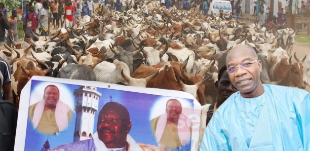 2830 bœufs en route pour Touba en attendant....  Serigne Saliou Ndigueul Thioune delloone na boum sa mboy mboy