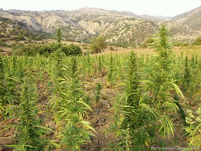 le Maroc, premier exportateur mondial de cannabis
