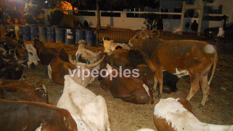 Une vache en fuite de chez Bethio Thioune séme la panique dans les rues de Dakar