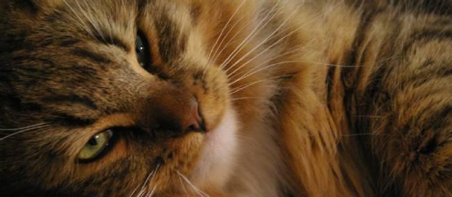 Un homme adopte 15 chats à la SPA... pour les faire cuire et les manger !