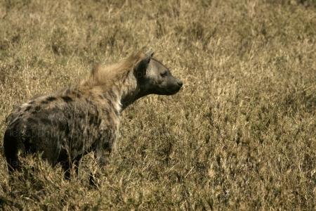 """Nu dans la brousse """"pour devenir riche"""", une hyène lui dévore le pénis"""