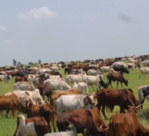 Vidéo : Cheikh Béthio au Mali pour acheter des camions de bœufs …Regardez