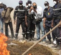 Lutte contre le trafic de drogue : 459,62 kg de chanvre indien incinérés à Fatick