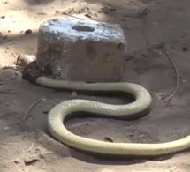 Thiès: Un serpent retrouvé dans le fourgon des prisonniers
