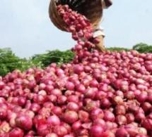 Saint-Louis : les producteurs annoncent une perte de 7000 Tonnes d'oignons