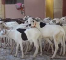 Le voleur Abou Hann retourne des moutons après être resté 2 jours sans aller aux toilettes