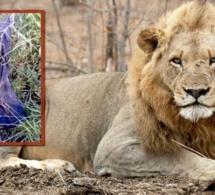 Afrique du Sud : un braconnier tué par un éléphant, puis dévoré par des lions