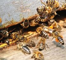 Kaffrine: des abeilles tuent un enfant, un autre dans un état critique
