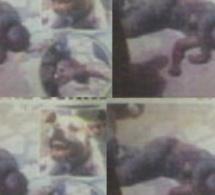 Talibé blessé à Pikine : Le propriétaire du pitbull condamné à un mois de prison