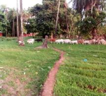 Goudomp : Une bande armée fait irruption à Djibanar et emporte 7 bœufs