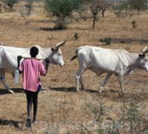 Koumpentoum : Une altercation entre 2 bergers de 17 ans vire au drame