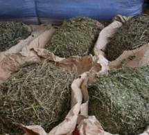 Trafic de chanvre indien: La Douane de Fatick a saisi 167 kg, d'une valeur de plus de 11 millions de FCfa