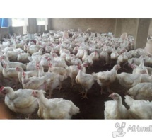 Korité: Plus d'un million de poulets sur le marché