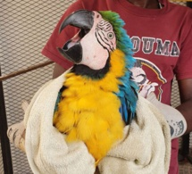 Thiaroye: Un trafiquant de perroquets protégés, interpellé