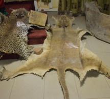 Opération contre le trafic à Tambacounda : Trois personnes arrêtées pour crime faunique