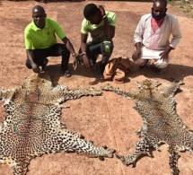 Tambacounda: Trois trafiquants de peaux de léopard arrêtés