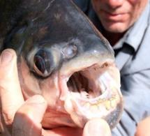 Alerte Maxima : Un poisson mangeur de testicules qui sème la panique dans les eaux sénégalaises!