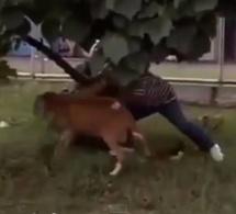 VIDEO - TRISTE OU DRÔLE ? Un mouton agresse les passants par simple plaisir